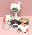Human Eye 3X Model