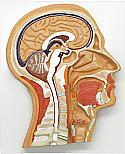 Human Head, Median Section