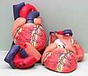 Human Heart Jumbo