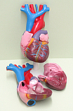Human Heart Life Size 2 Part