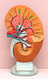 Human Kidney Large