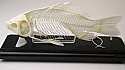 Fish Skeleton Real Educational