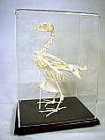 Pigeon Skeleton  Real Educational
