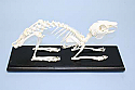 Rabbit Skeleton Real Educational