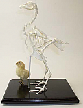 Chicken Skeleton With Chick Real Educational
