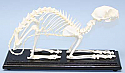 Cat Skeleton Real Educational