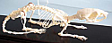 Rat Skeleton Real Educational