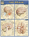 Brain Chart Illustrated