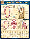 Dental Anatomy Chart