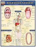 Digestive System Chart