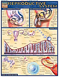 Reproductive System Chart