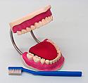 Dental Care Model Large