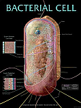 Bacterial Cell Poster