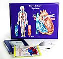 Circulatory System Model Activity Set