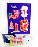 Digestive System Model Activity Set