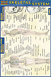 Skeletal System Chart Compact