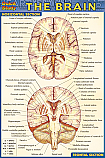 Brain Chart Compact