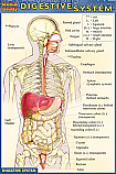 Digestive System Chart Compact