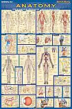 Anatomy Poster Laminated