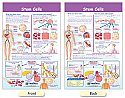 Stem Cells Bulletin Board Chart