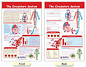 The Circulatory System Bulletin Board Chart