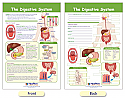 The Digestive System Bulletin Board Chart