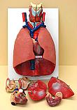 Human Lung & Heart Model