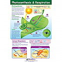Photosynthesis & Respiration Poster, Laminated