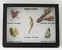 Algae Riker Mount