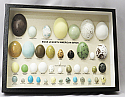 Egg Replicas of North American Birds Riker Mount