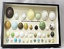 Egg Replicas of North American Birds Riker Mount