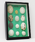 Egg Replicas of North American Raptors Riker Mount