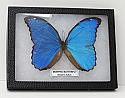 Giant Blue Morpho Butterfly Riker Mount