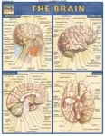 Brain Chart Illustrated