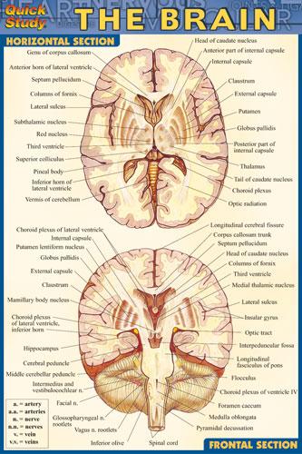 8100-26 Brain Chart Compact