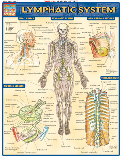 8100 25 lymphatic system chart
